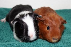 guinea pig size