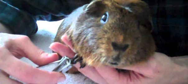 guinea pig nail care