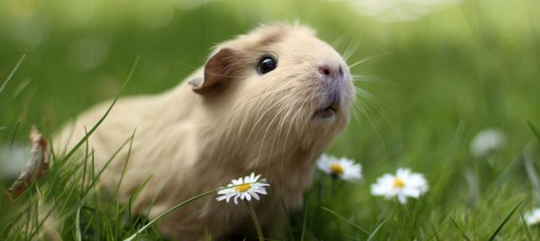 Can Guinea Pigs Run