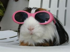 keep a guinea pig cool