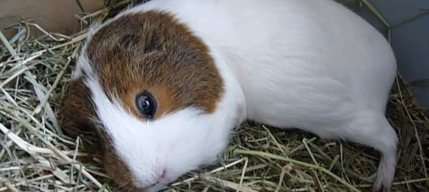can guinea pigs feel emotions