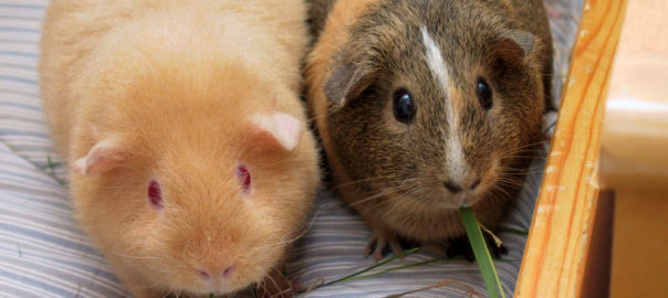 ways to help your guinea pig settle in